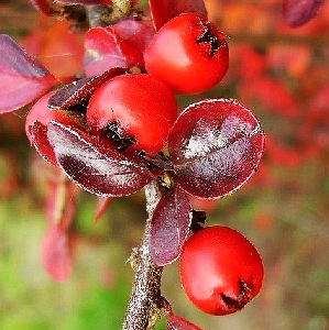 Cotoneaster dammeri Streib's Findling 2