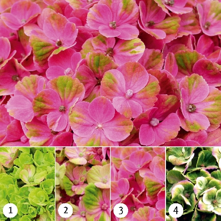 Hydrangea macrophylla Magical Coral Pink