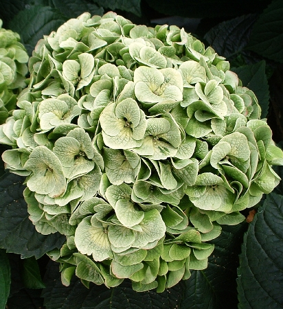 Hydrangea macrophylla Napo (Magical  Pearl) 1