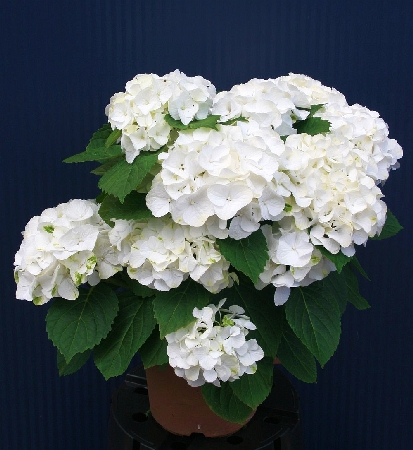 Hydrangea macrophylla Napo (Magical  Pearl) 3