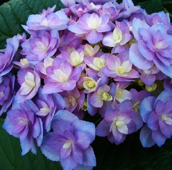Hydrangea macrophylla You & Me Expression 2