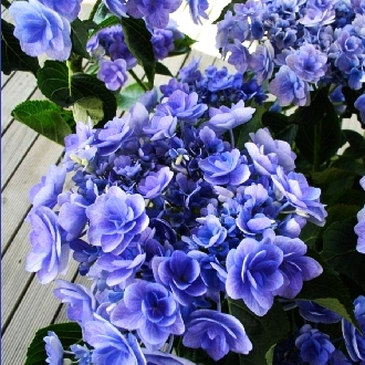Hydrangea macrophylla You & Me Forever 1