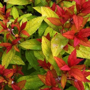 Spiraea japonica Goldflame 1