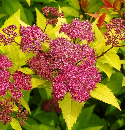Spiraea japonica Goldflame 2