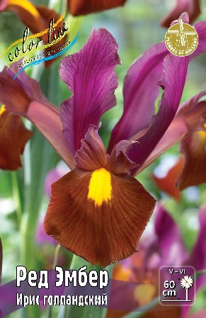 Iris hollandica Red Ember