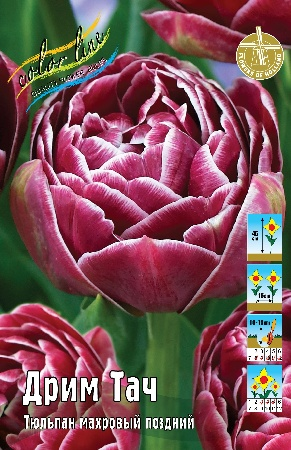 Tulipa Dream Touch