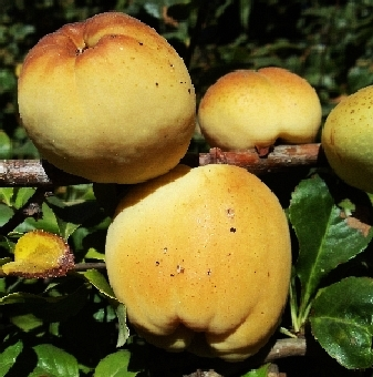 Chaenomeles Fruit