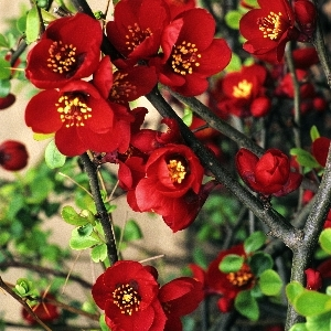Chaenomeles x superba Crimson and Gold 1