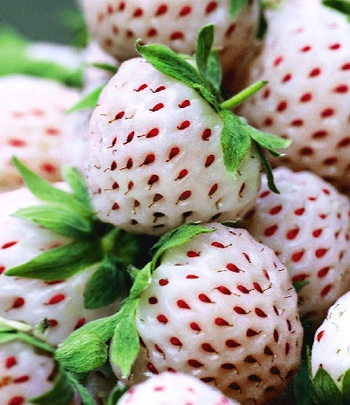 Fragaria x ananassa Pineberry White Dream 1