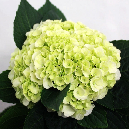 Hydrangea macrophylla Napo (Magical  Pearl) 2