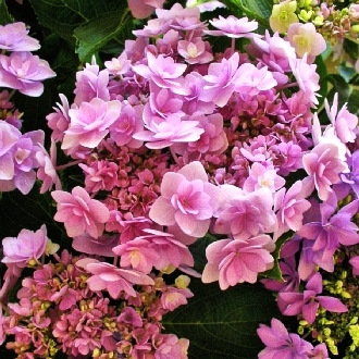 Hydrangea macrophylla You & Me Forever 2