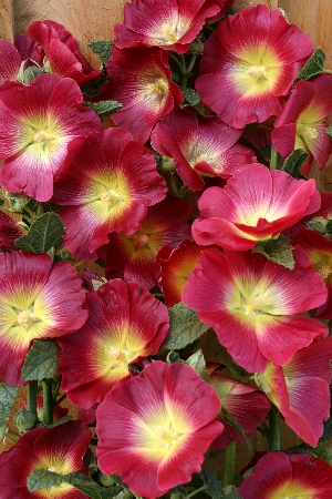 Alcea Halo Red